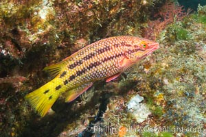 Mexican hogfish, female coloration, Sea of Cortez, Baja California, Mexico. Sea of Cortez, Baja California, Mexico, Bodianus diplotaenia, natural history stock photograph, photo id 27499