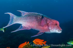 Mexican hogfish, adult male showing fleshy bump on head, Bodianus diplotaenia, Guadalupe Island (Isla Guadalupe)