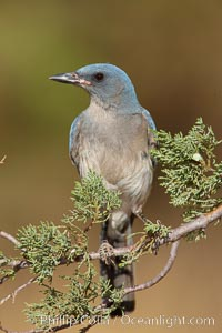 Mexican jay, Aphelocoma ultramarina, Madera Canyon Recreation Area, Green Valley, Arizona