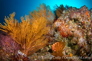 Reef with gorgonians and marine invertebrates, Sea of Cortez, Baja California, Mexico. Sea of Cortez, Baja California, Mexico, natural history stock photograph, photo id 27502
