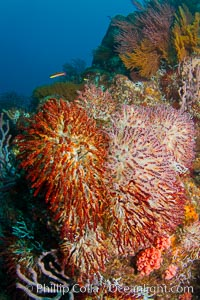 Reef with gorgonians and marine invertebrates, Sea of Cortez, Baja California, Mexico. Sea of Cortez, Baja California, Mexico, natural history stock photograph, photo id 27512