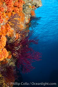 Reef with gorgonians and marine invertebrates, Sea of Cortez, Baja California, Mexico. Sea of Cortez, Baja California, Mexico, natural history stock photograph, photo id 27526