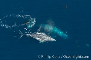 Gray whales traveling south to Mexico during their winter migration.  The annual migration of the California gray whale is the longest known migration of any mammal, 10,000 to 12,000 miles from the Bering Sea to Baja California, Eschrichtius robustus, Coronado Islands (Islas Coronado)
