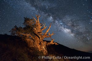 Stars and the Milky Way rise above ancient bristlecone pine trees, in the White Mountains at an elevation of 10,000&#39; above sea level.  These are some of the oldest trees in the world, reaching 4000 years in age, Pinus longaeva, Ancient Bristlecone Pine Forest, White Mountains, Inyo National Forest