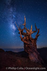 Image 27774, Stars and the Milky Way rise above ancient bristlecone pine trees, in the White Mountains at an elevation of 10,000' above sea level.  These are some of the oldest trees in the world, reaching 4000 years in age. Ancient Bristlecone Pine Forest, White Mountains, Inyo National Forest, California, USA, Pinus longaeva