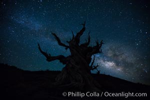 Stars and the Milky Way rise above ancient bristlecone pine trees, in the White Mountains at an elevation of 10,000' above sea level.  These are some of the oldest trees in the world, reaching 4000 years in age. Ancient Bristlecone Pine Forest, White Mountains, Inyo National Forest, California, USA, Pinus longaeva, natural history stock photograph, photo id 27781