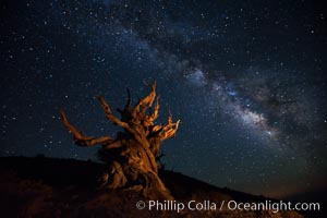 Stars and the Milky Way rise above ancient bristlecone pine trees, in the White Mountains at an elevation of 10,000' above sea level.  These are some of the oldest trees in the world, reaching 4000 years in age, Pinus longaeva, Ancient Bristlecone Pine Forest, White Mountains, Inyo National Forest