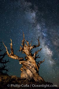 Stars and the Milky Way rise above ancient bristlecone pine trees, in the White Mountains at an elevation of 10,000' above sea level.  These are some of the oldest trees in the world, reaching 4000 years in age. Ancient Bristlecone Pine Forest, White Mountains, Inyo National Forest, California, USA, Pinus longaeva, natural history stock photograph, photo id 27785
