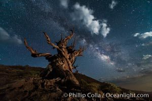 Stars, moonlit clouds and the Milky Way over ancient bristlecone pine trees, in the White Mountains at an elevation of 10,000' above sea level. These are some of the oldest trees in the world, some exceeding 4000 years in age, Pinus longaeva, Ancient Bristlecone Pine Forest, White Mountains, Inyo National Forest