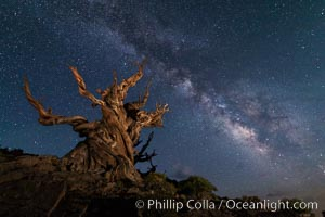 Stars and the Milky Way over ancient bristlecone pine trees, in the White Mountains at an elevation of 10,000' above sea level. These are the oldest trees in the world, some exceeding 4000 years in age, Pinus longaeva, Ancient Bristlecone Pine Forest, White Mountains, Inyo National Forest