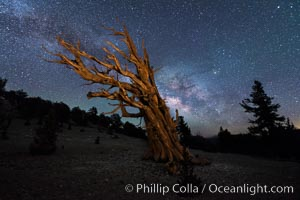 Milky Way over Ancient Bristlecone Pine Trees, Inyo National Forest. Ancient Bristlecone Pine Forest, White Mountains, Inyo National Forest, California, USA, natural history stock photograph, photo id 29315