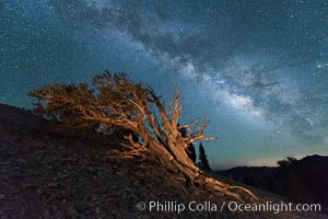 Milky Way over Ancient Bristlecone Pine Trees, Inyo National Forest. Ancient Bristlecone Pine Forest, White Mountains, Inyo National Forest, California, USA, Pinus longaeva, natural history stock photograph, photo id 29319