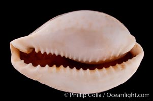 Millet Cowrie, Cypraea miliaris differens