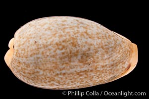 Mistaken Cowrie, Cypraea errones bimaculata