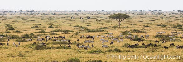 Image 29823, Mixed Herd of Wildebeest and Zebra, aerial photo, Maasai Mara National Reserve, Kenya. Maasai Mara National Reserve, Kenya, Equus quagga, Phillip Colla, all rights reserved worldwide. Keywords: aerial, aerial photo, africa, alcelaphinae, animalia, artiodactyla, balloon, ballooning, bovidae, chordata, connochaetes taurinus, equidae, equus, equus quagga, flight, gnu, group, herd, kenya, maasai mara, maasai mara national reserve, mammalia, masai mara game reserve, natural, nature, outdoors, outside, perissodactyla, plains, safari, vertebrata, wild, wildebeest, wildlife, zebra.