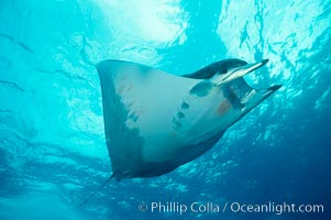 Mobula ray. Cocos Island, Costa Rica, Mobula, natural history stock photograph, photo id 01997