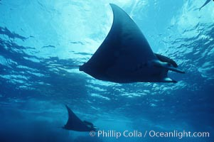 Mobula ray. Cocos Island, Costa Rica, Mobula, natural history stock photograph, photo id 02000