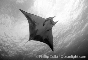 Mobula ray. Cocos Island, Costa Rica, Mobula, natural history stock photograph, photo id 06132