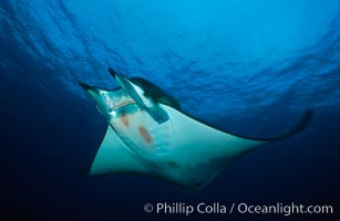 Mobula ray, Mobula sp., Cocos Island, copyright Phillip Colla Natural History Photography, www.oceanlight.com, image #01996, all rights reserved worldwide.