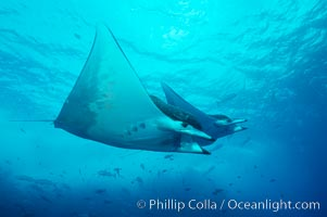 Mobula ray. Cocos Island, Costa Rica, Mobula, natural history stock photograph, photo id 01999