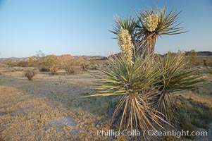 Mojave yucca in springtime bloom, Yucca schidigera, Joshua Tree National Park, California