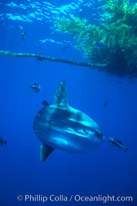 Ocean sunfish under drift kelp, open ocean, Mola mola, San Diego, California