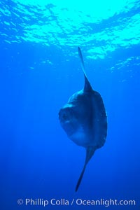 Ocean sunfish, open ocean. San Diego, California, USA, Mola mola, natural history stock photograph, photo id 02110