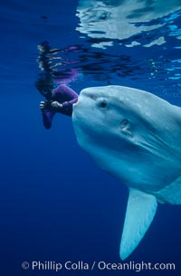 Ocean sunfish with videographer, open ocean. San Diego, California, USA, Mola mola, natural history stock photograph, photo id 02875