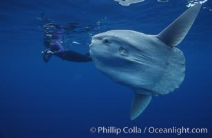 Ocean sunfish with videographer, open ocean. San Diego, California, USA, Mola mola, natural history stock photograph, photo id 02879
