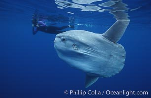 Ocean sunfish with videographer, open ocean. San Diego, California, USA, Mola mola, natural history stock photograph, photo id 02880