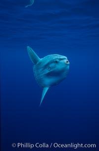 Ocean sunfish, open ocean. San Diego, California, USA, Mola mola, natural history stock photograph, photo id 02883
