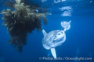 Ocean sunfish schooling near drift kelp, soliciting cleaner fishes, open ocean, Baja California., Mola mola, natural history stock photograph, photo id 06392