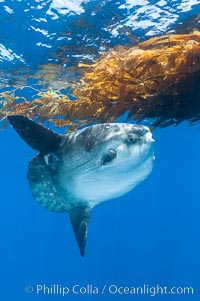 Ocean sunfish hovers near drift kelp to recruite juvenile fish to remove parasites, open ocean. San Diego, California, USA, Mola mola, natural history stock photograph, photo id 10004