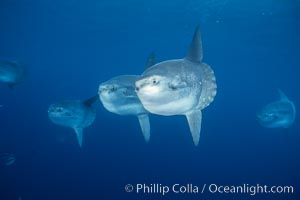 Ocean sunfish schooling, open ocean near San Diego. San Diego, California, USA, Mola mola, natural history stock photograph, photo id 03564