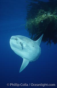 Ocean sunfish referencing drift kelp, open ocean near San Diego. San Diego, California, USA, Mola mola, natural history stock photograph, photo id 03577