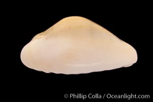 Money Cowrie, Cypraea moneta