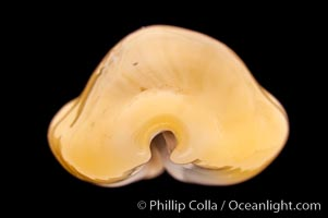 Money Cowrie, Cypraea moneta barthelemyi