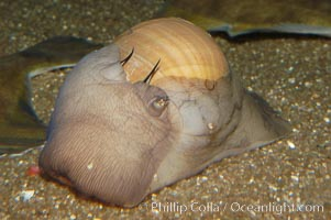 Lewiss moon snail, mantle extended to nearly cover shell, Polinices lewisii