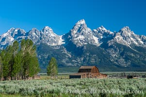 Aspens and an old barn along Mormon Row below the Teton Range, Grand Teton National Park, Wyoming