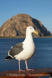 Seagull and Morro Rock, Morro Bay, California