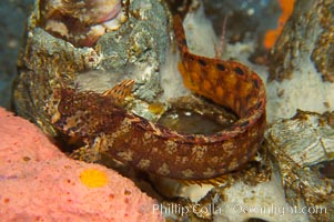 Mosshead warbonnet.  The moss-like protrusions on its head (cirri) may provide some camoflage effect, Chirolophis nugator