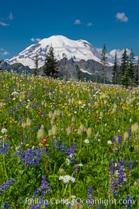 Mount Rainier and alpine wildflowers. Tipsoo Lakes, Mount Rainier National Park, Washington, USA, natural history stock photograph, photo id 28739