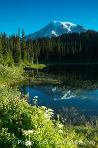 Mount Rainier is reflected in the calm waters of Reflection Lake, early morning. Reflection Lake, Mount Rainier National Park, Washington, USA, natural history stock photograph, photo id 13857