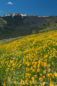 Wildflowers on Mount Washburn, on the north side of Dunraven Pass near Tower Junction, Helianthella uniflora, Yellowstone National Park, Wyoming