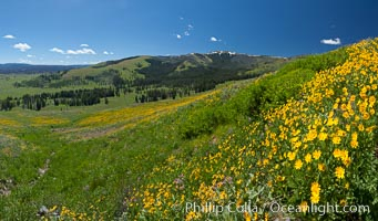 Wildflowers on Mount Washburn, on the north side of Dunraven Pass near Tower Junction. Yellowstone National Park, Wyoming, USA, Helianthella uniflora, natural history stock photograph, photo id 26960
