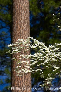 Mountain dogwood, or Pacific dogwood, Yosemite Valley, Cornus nuttallii, Yosemite National Park, California