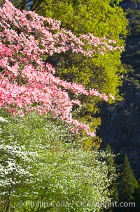 Mountain dogwood, or Pacific dogwood, Yosemite Valley. Yosemite National Park, California, USA, Cornus nuttallii, natural history stock photograph, photo id 12688