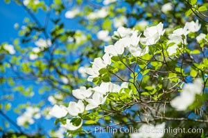 Mountain dogwood, or Pacific dogwood, blooming in spring in Yosemite Valley. Yosemite National Park, California, USA, natural history stock photograph, photo id 34551