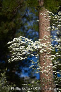 Mountain dogwood, or Pacific dogwood, Yosemite Valley. Yosemite National Park, California, USA, Cornus nuttallii, natural history stock photograph, photo id 12695