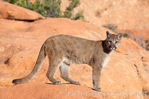 Mountain lion., Puma concolor, natural history stock photograph, photo id 12303